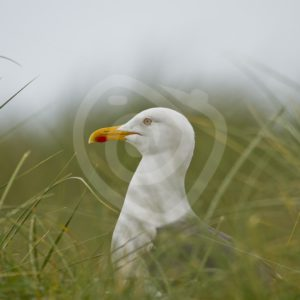 Great black-backed gull in between grass - Nature Stock Photo Agency