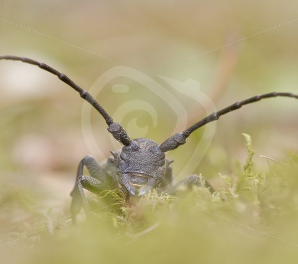 Great capricorn longhorn beetle closeup - Nature Stock Photo Agency
