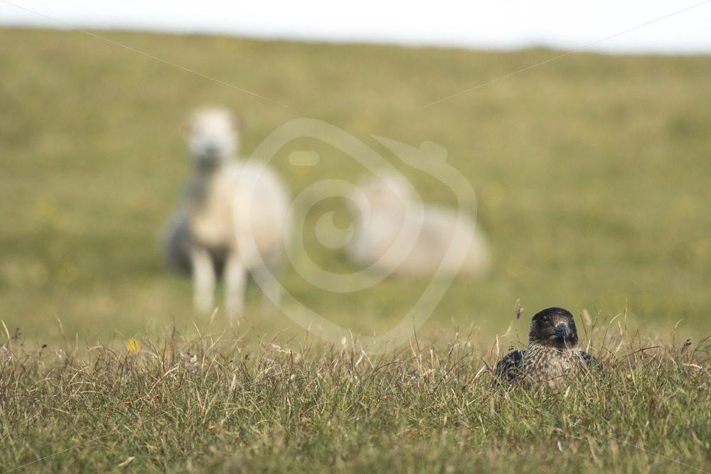 Great skua nesting between sheeps in Shetland - Nature Stock Photo Agency