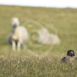 Great skua nesting between sheeps in Shetland - Nature Stock Photo Agency