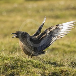 Great skua showing off - Nature Stock Photo Agency
