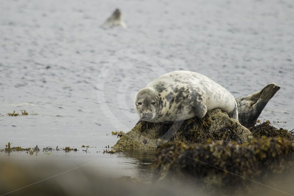 Grey seal resting on a rock - Nature Stock Photo Agency