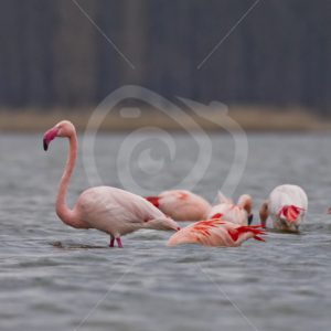 Group of Flamingos in the lake - Nature Stock Photo Agency