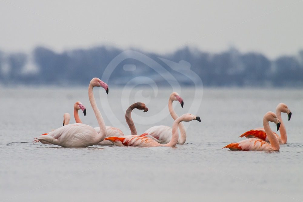 Group of flamingo's in a lake - Nature Stock Photo Agency