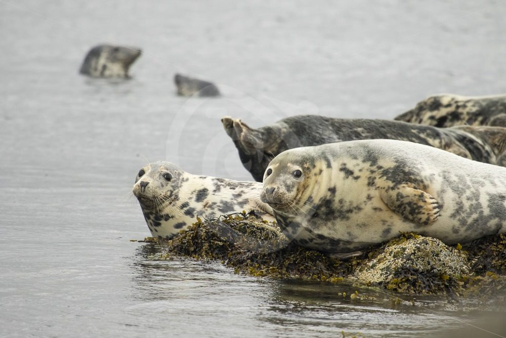 Group of grey seals on the rocks - Nature Stock Photo Agency