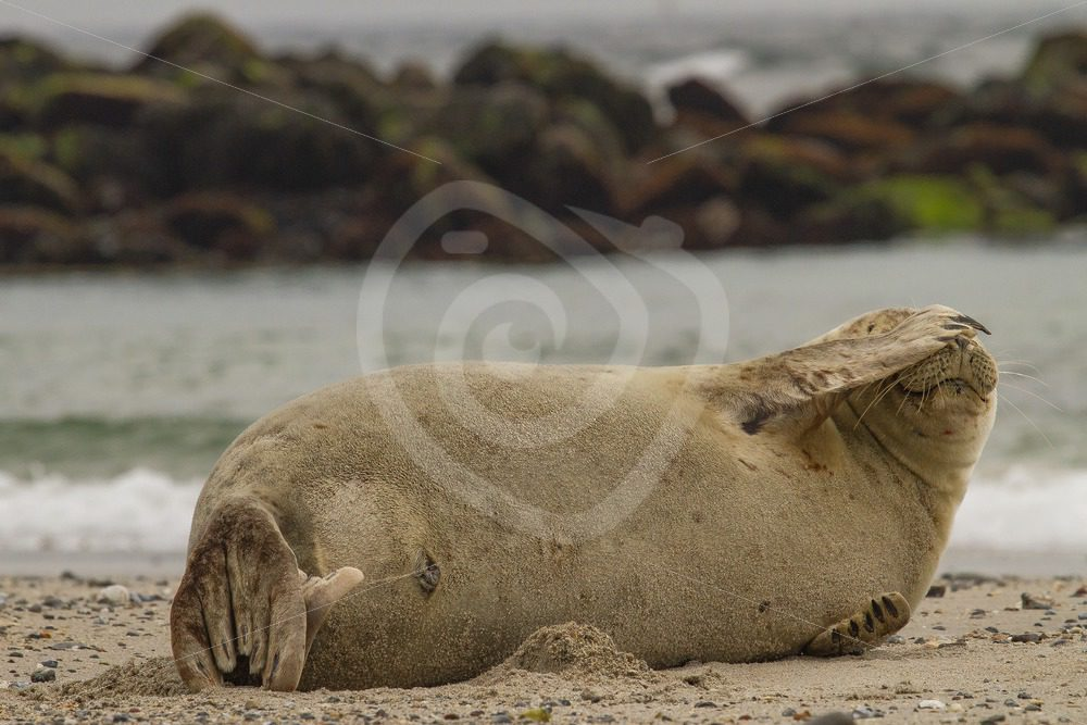 Harbor seal covering eyes - Nature Stock Photo Agency