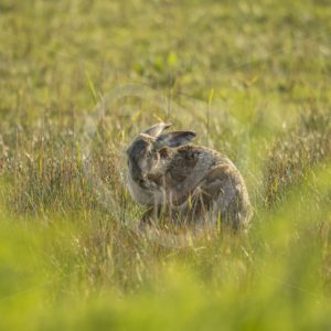 Hare scratching in the grass - Nature Stock Photo Agency