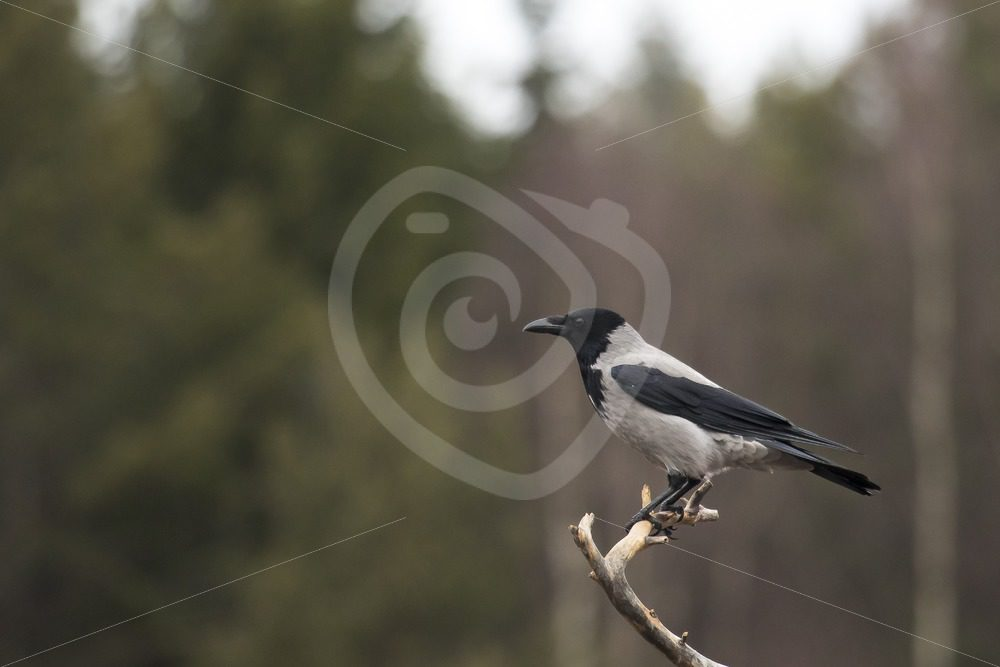 Hooded crow on a branch - Nature Stock Photo Agency