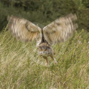 Horned owl in flight - Nature Stock Photo Agency