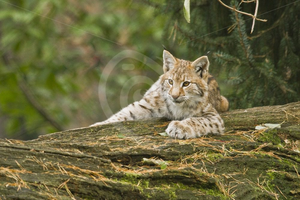Juvenile Eurasian lynx on a tree - Nature Stock Photo Agency