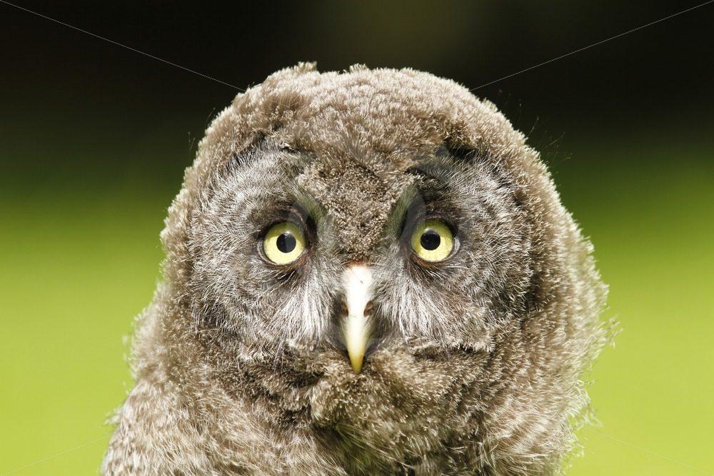 Juvenile Great Grey owl closeup - Nature Stock Photo Agency