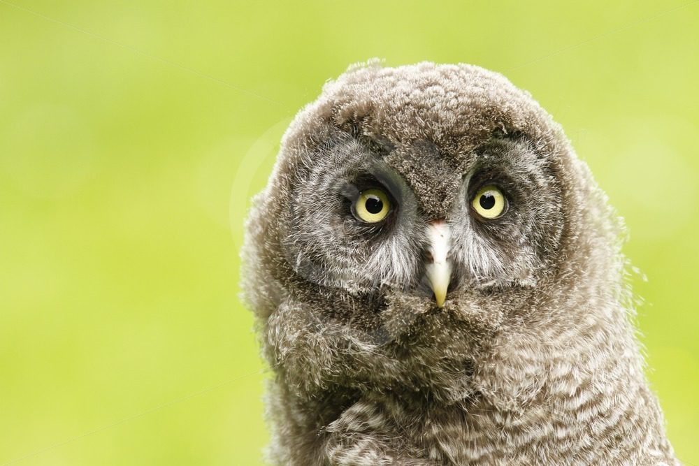 Juvenile Great Grey owl looking in front - Nature Stock Photo Agency