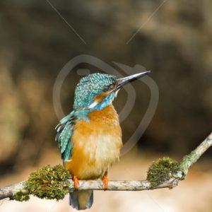 Juvenile kingfisher looking upwards - Nature Stock Photo Agency