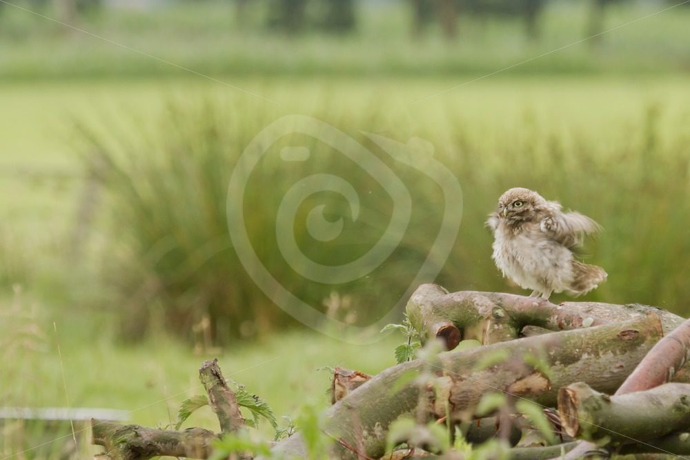 Juvenile tiny owl shaking on wood logs - Nature Stock Photo Agency