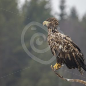 Juvenile white-tailed eagle sitting on a branch - Nature Stock Photo Agency