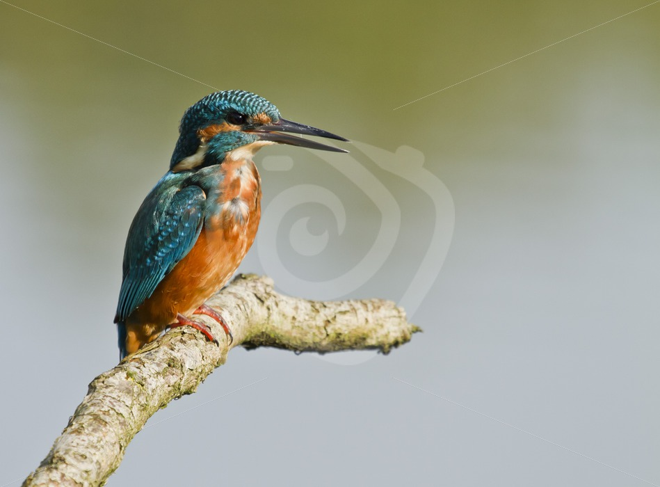 Kingfisher on a branch - Nature Stock Photo Agency