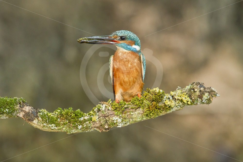 Kingfisher with fish - Nature Stock Photo Agency