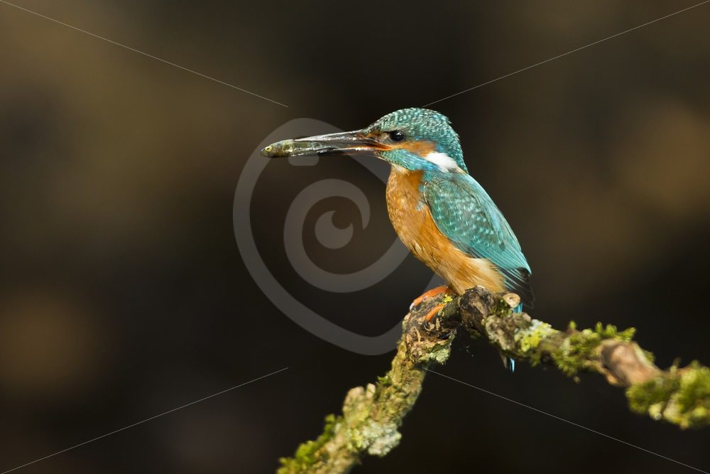 Kingfisher with fish on a branch - Nature Stock Photo Agency