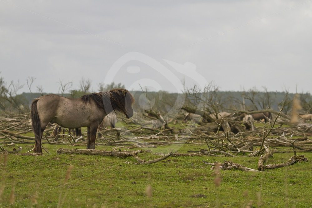 Konik horse in the moorland - Nature Stock Photo Agency