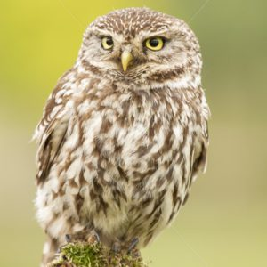 Little owl closeup portrait - Nature Stock Photo Agency
