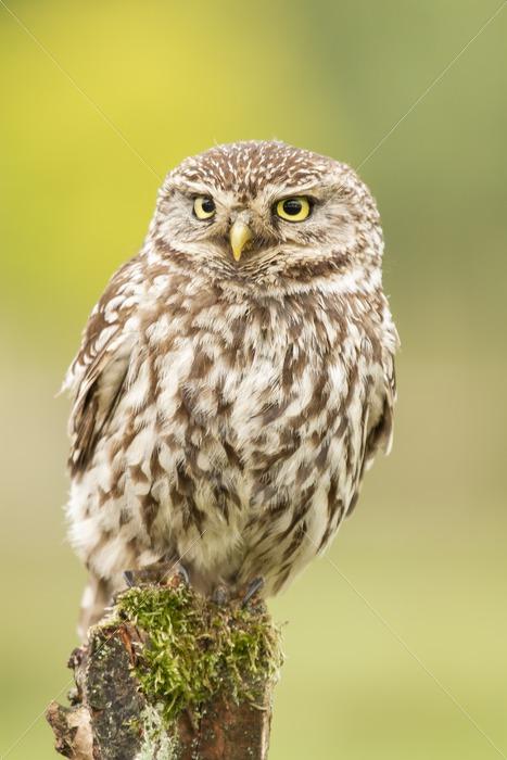 Little owl closeup portrait - Nature Stock Photo Agency