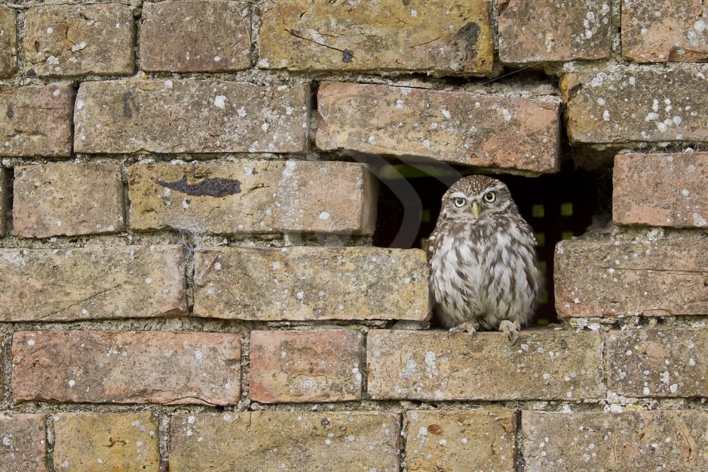 Little owl hiding in stone wall - Nature Stock Photo Agency