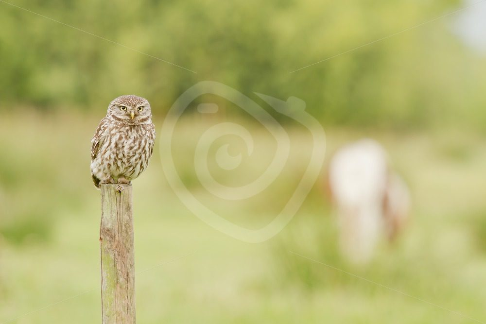 Little owl in a field on a pole - Nature Stock Photo Agency