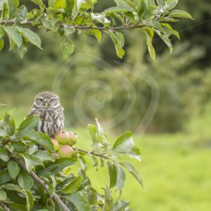 Little owl in apple tree - Nature Stock Photo Agency
