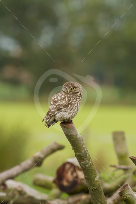 Little owl looking around an a log - Nature Stock Photo Agency