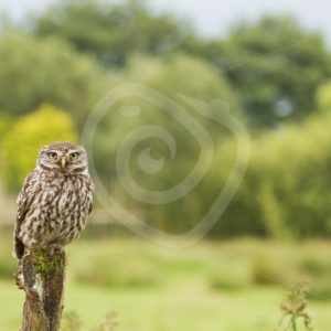 Little owl on a pole in meadow - Nature Stock Photo Agency