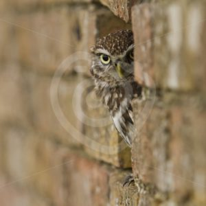 Little owl peeking from behind a wall - Nature Stock Photo Agency