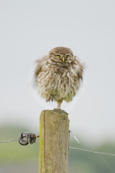 Little owl shaking on a pole - Nature Stock Photo Agency