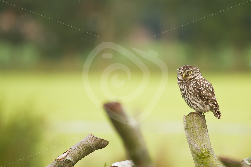 Little owl sitting on a log - Nature Stock Photo Agency