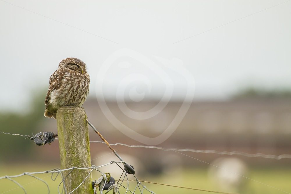 Little owl sleeping on a pole in the fields - Nature Stock Photo Agency