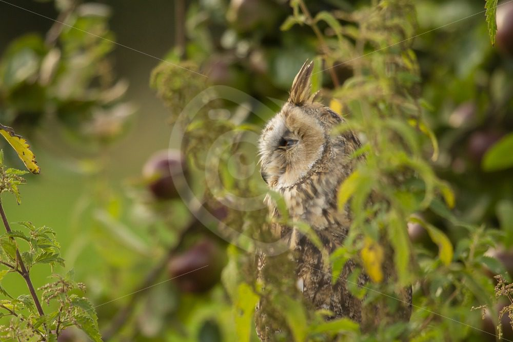 Long-eared owl between the bushes - Nature Stock Photo Agency