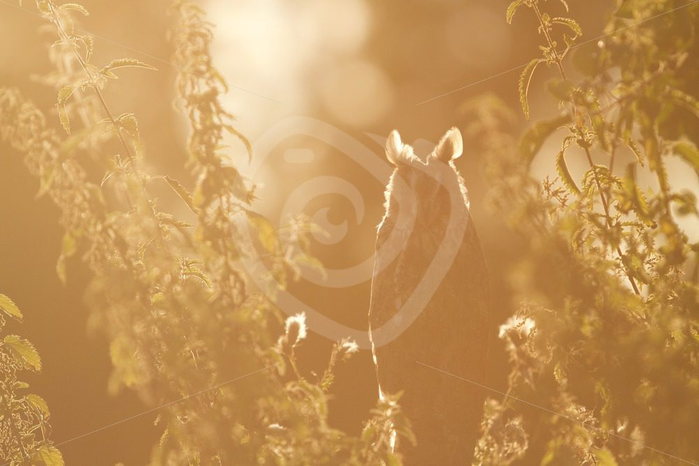 Long-eared owl between the trees in sunset light - Nature Stock Photo Agency
