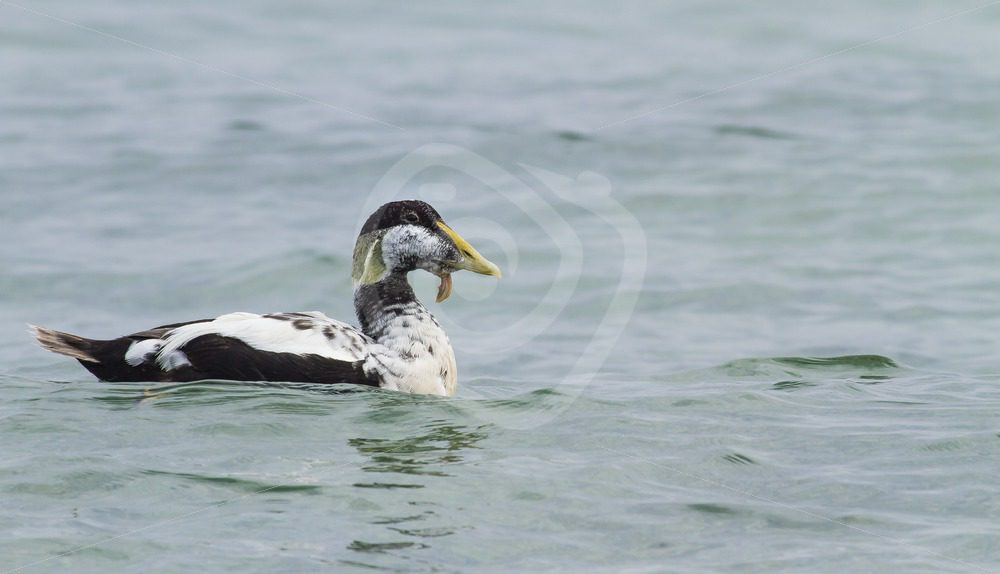 Male eider duck floating on the water - Nature Stock Photo Agency