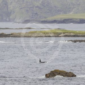 Male orca passing in its environment - Nature Stock Photo Agency