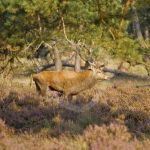 Male roe deer waiting females - Nature Stock Photo Agency
