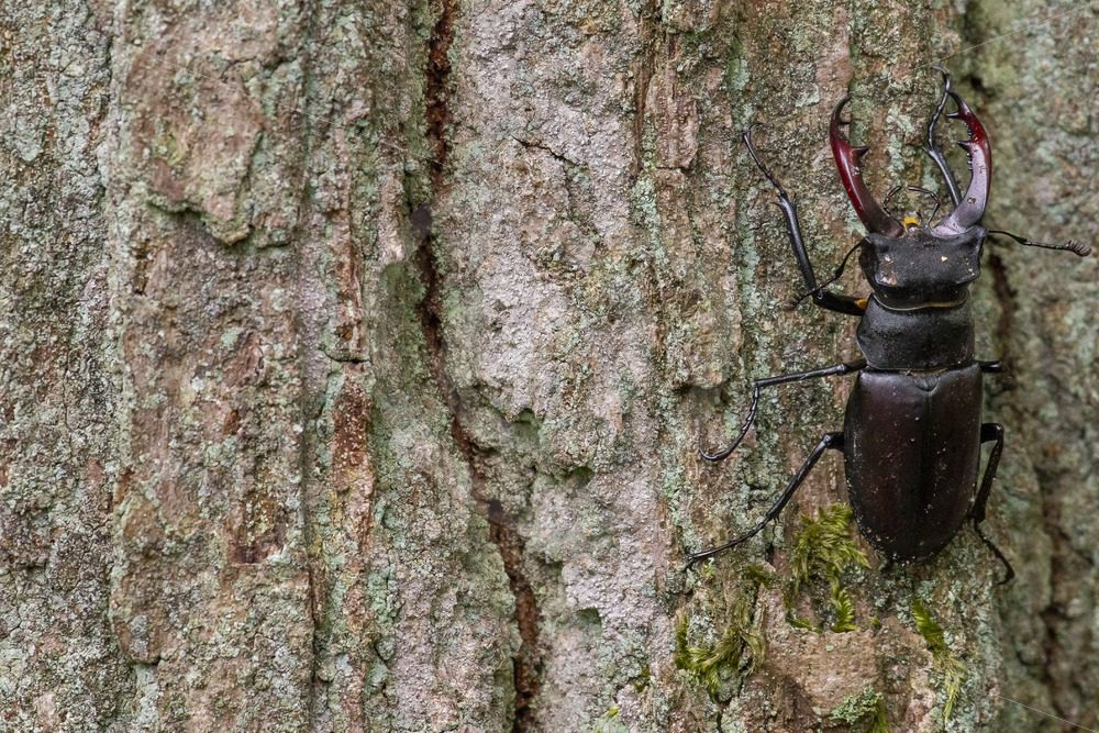 Male stag beetle climbing on bark - Nature Stock Photo Agency