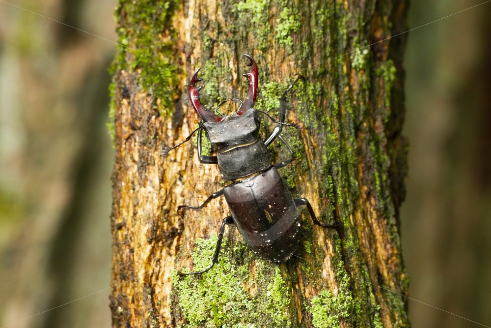 Male stag beetle on a tree - Nature Stock Photo Agency