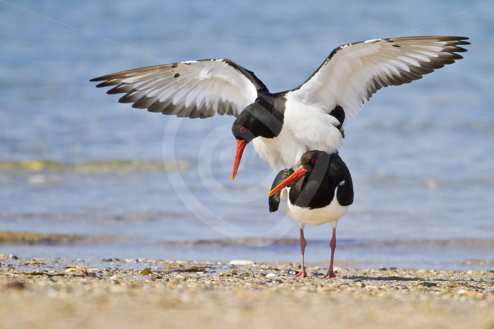 Mating oystercatchers on the beach - Nature Stock Photo Agency