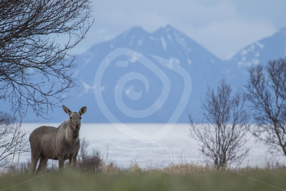 Moose in a landscape - Nature Stock Photo Agency