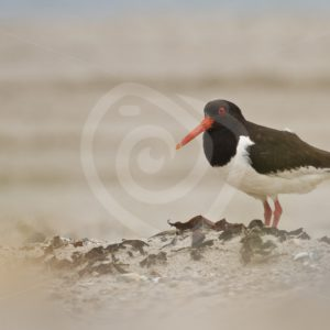 Oyster catcher on the beach - Nature Stock Photo Agency
