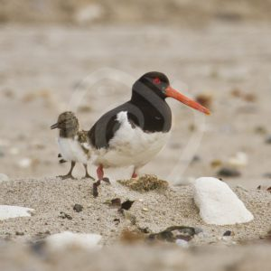 Oyster catcher with chick on beach - Nature Stock Photo Agency