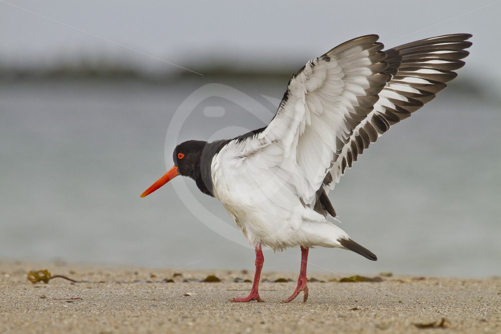 Oystercatcher spreading wings - Nature Stock Photo Agency