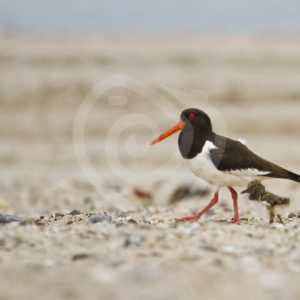 Oystercatcher walking with chick - Nature Stock Photo Agency