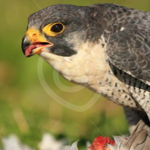 Peregrine falcon closeup eating a prey - Nature Stock Photo Agency