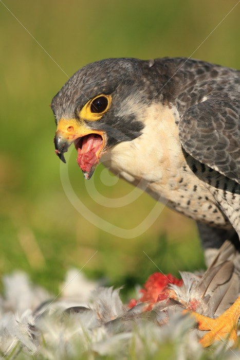 Peregrine falcon eating from its prey - Nature Stock Photo Agency