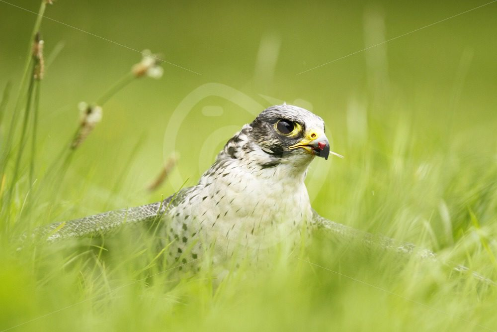 Peregrine falcon protecting its prey - Nature Stock Photo Agency